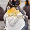molting juvenile king penguin