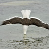 kelp gull entering the water