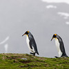 marching king penguins