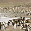 elephant seals & king penguins, salisbury plain, south georgia