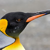 closeup of adult king penguin