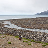 massive king penguin colony on salisbury plain, south georgia