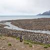 massive king penguin colony on salisbury plain, south georgia