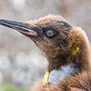 king penguin juvenile, closeup portrait