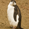 content chinstrap penguin