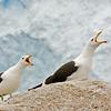 kelp gulls squawking