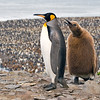 king penguins adult & pestering juvenile, salisbury plain, south georgia