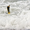 king penguin riding the surf into shore