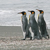 three king penguins marching through molted feathers