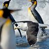 lelp gull flying through king penguin colony
