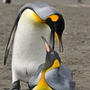 mated pair of king penguins