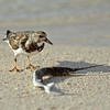ruddy turnstone & needlefish