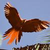 scarlet macaw landing, unfortunately blurry