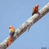 scarlet macaws on palm tree trunk