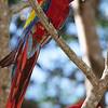 scarket macaw