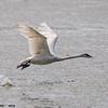 trumpeter swan takeoff, crex meadows, wi