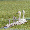 trumpeter swans & cygnets, crex meadows, wi