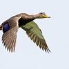 mottled duck in flight