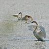 trumpeter swan wingflap