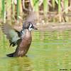 blue-winged teal drake wingflap