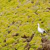 upland goose, falkland islands
