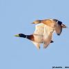 mallard pair in flight, bosque del apache, new mexico