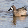 blue-winged teal drake, south padre tx
