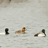 greater scaup drakes & hen
