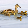 mallard hen & ducklings