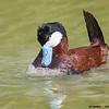 ruddy duck drake displaying