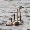 trumpeter swans & cygnets, crex meadows, wi