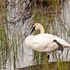 trumpeter swan, alaska