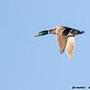 mallard drake in flight, bosque del apache, new mexico