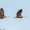black-bellied whistling duck pair in flight