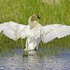 trumpeter swan, crex meadows, wi
