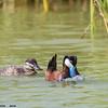 ruddy duck pair, male displaying