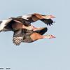 black-bellied whistling duck trio in flight