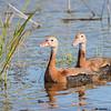 black-bellied whistling duck pair