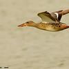 northern shoveler hen in flight