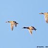 mallard trio in flight, bosque del apache, new mexico