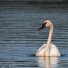 trumpeter swan, seney nwr mi