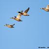 mallards in flight, bosque del apache, new mexico