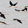 black-necked stilts in flight, port aransas, texas