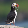 atlantic puffin with sand eels, grimsey island, iceland