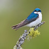 tree swallow on lichen, kamloops, bc