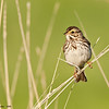 savannah sparrow, eagle crest, wisconsin