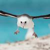 laysan albatross landing, midway atoll