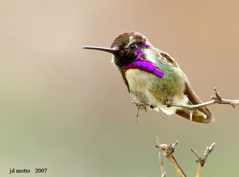 costa's hummingbird,  boyce thompson arboretum, arizona