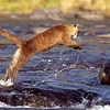 cougar leaping river rocks, sandstone, minnesota