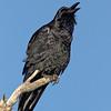 common raven, bosque del apache nm